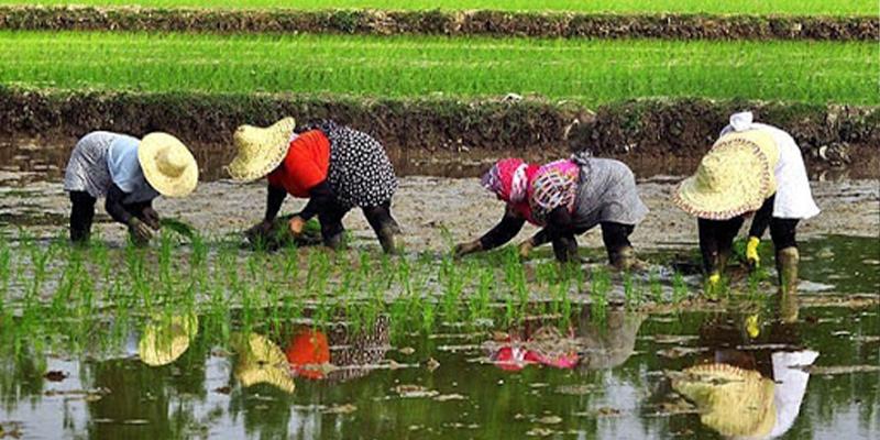شغل مردم رامسر؛ کشاورزی و باغداری