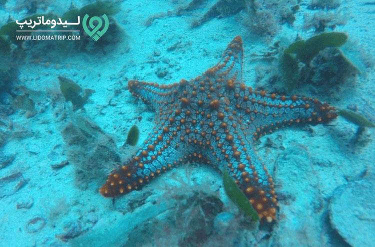 ستاره دریایی در سایت غواصی در قشم